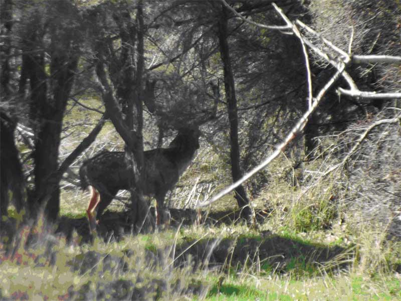 5) 16th April - A wild Wairarapa Fallow buck pictured by Howard Egan